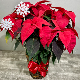 Santa Approved Poinsettia