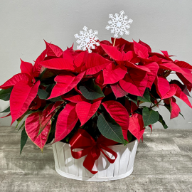 Double the Spirit Poinsettia