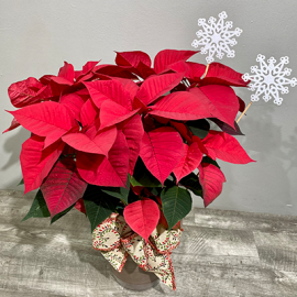 Holiday Cheer Poinsettia