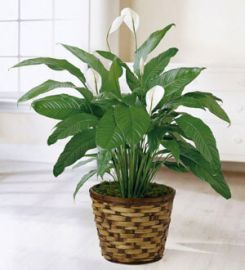 The Spathiphyllum